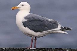 Olympic Gull